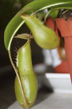 nepenthes ventrata urne 1.jpg