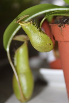 nepenthes ventrata urne 2.jpg